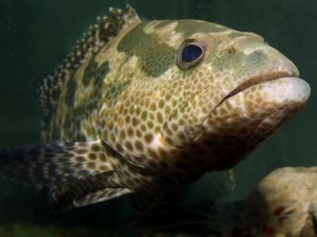 Tylko Duńczycy łowią dorsze wsposób zrównoważony