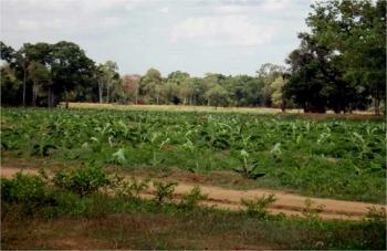 Banany Dole z… Parku Narodowego na Sri Lance