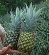 Ananas słodko-gorzki