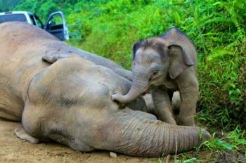Podejrzenie obezsensowne zabijanie słoni przez plantatorów palmy olejowej na Borneo