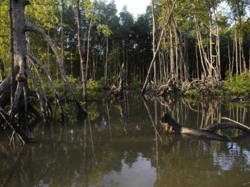 Rafinerie oleju palmowego niszczą lasy namorzynowe na Borneo