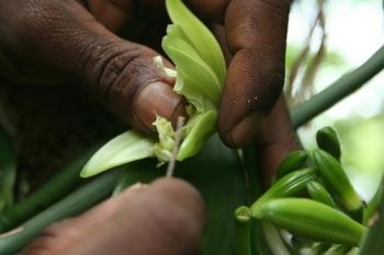 Wanilia – ceniona przez konsumentów ale zagrożona przez rynek