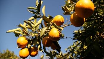Tak dla sprawiedliwego soku pomarańczowego! Podpisz petycję!