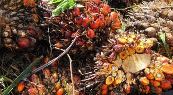 Zrównoważona uprawa oleju palmowego ałamanie praw człowieka